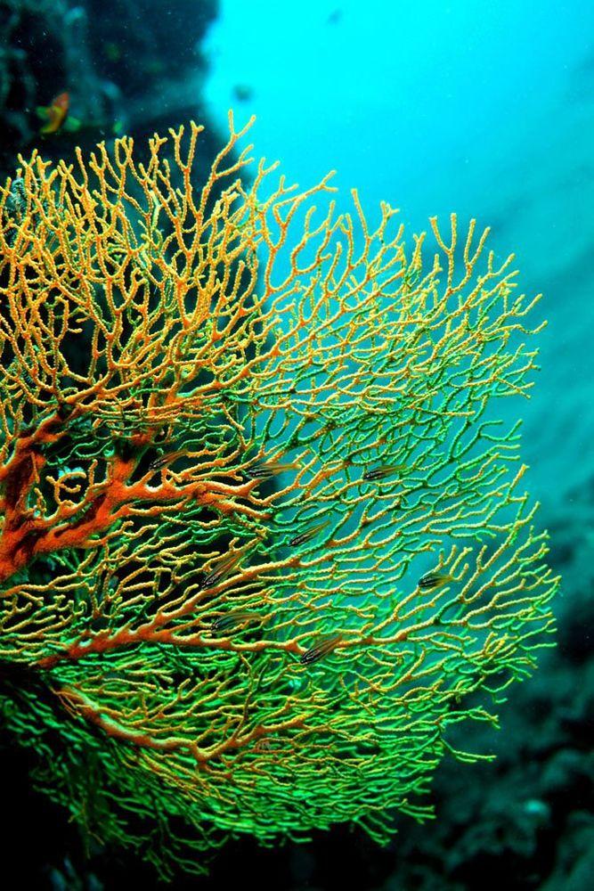 о кораллах