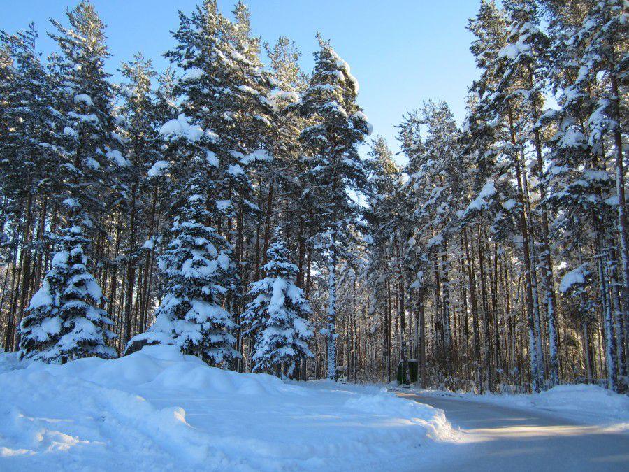 лес, зима, прогулка зимой