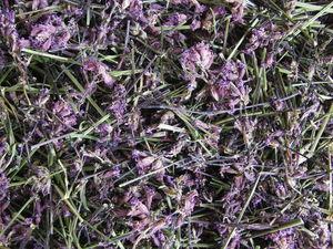 Смолка клейкая. Трава. (Смолка липкая, красная сон-трава, дрёма). Ярмарка Мастеров - ручная работа, handmade.