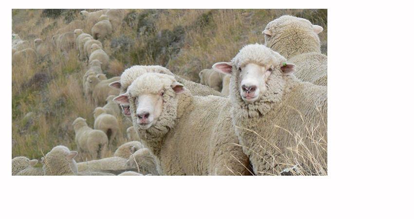 блог нади грин, nzwool, шерсть из новой зеландии, флис для валяния, польза, вред, здоровье