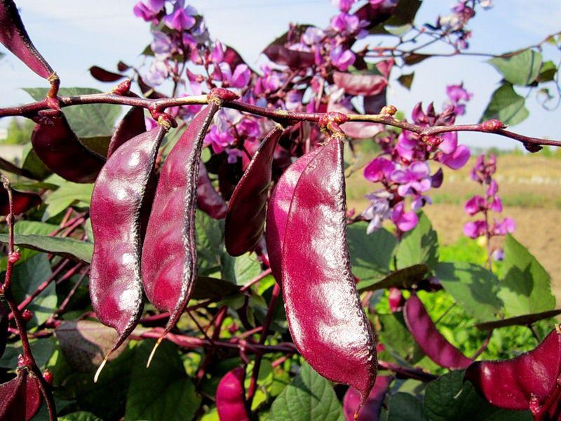 гиацинтовая фасоль, лиана, красивая лиана, семена лианы