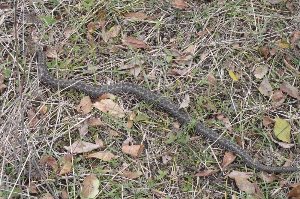 гадюка змея уж, гадюка фото, змей гадюки, змея фото, отличить ужа от гадюки, травы кавказа, трава купить, травяная лавка виктории