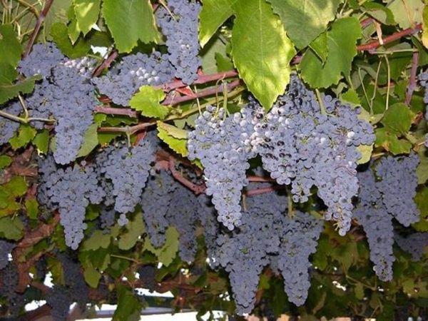 Новый день с Форт Нокс. А как цветёт виноград? | Ярмарка Мастеров - ручная работа, handmade