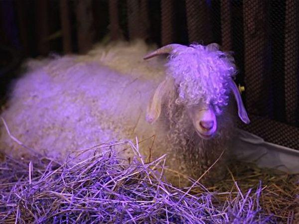 Мохеровые козы! | Ярмарка Мастеров - ручная работа, handmade