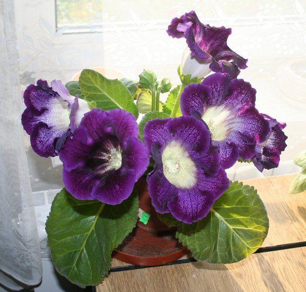 цветы, глоксиния, комнатные цветы, геснериевые, радость