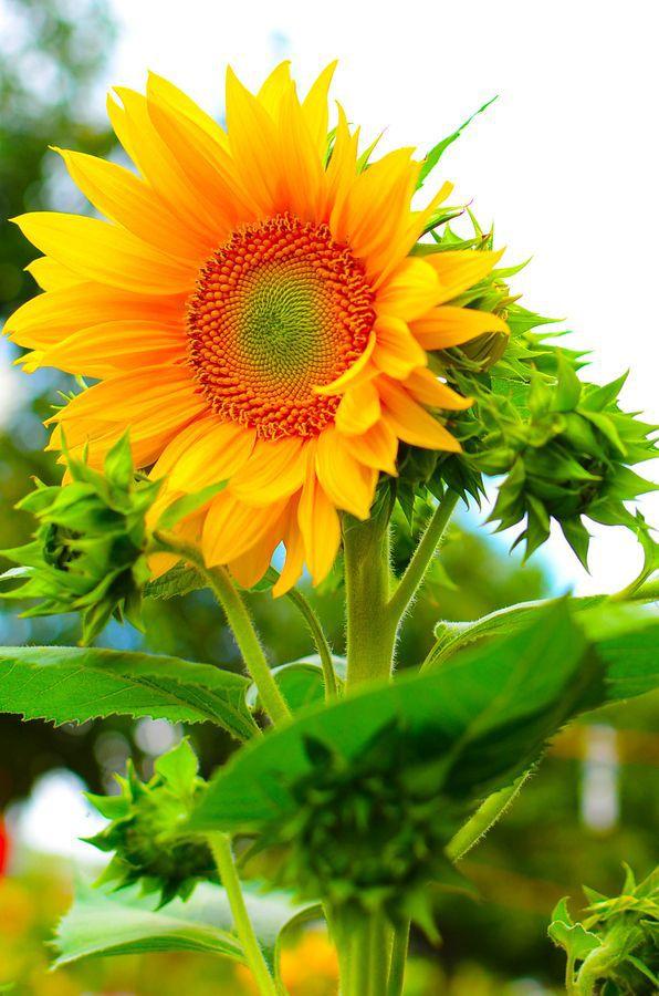 Sunflower ....