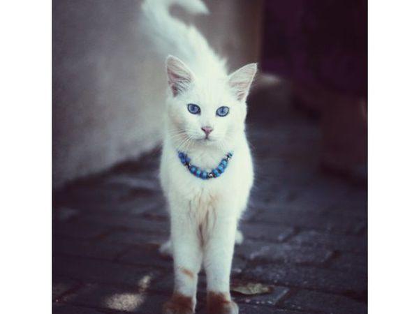 Друзья! Кошечка Алиса , белая и пушистая ищет дом и хозяев | Ярмарка Мастеров - ручная работа, handmade