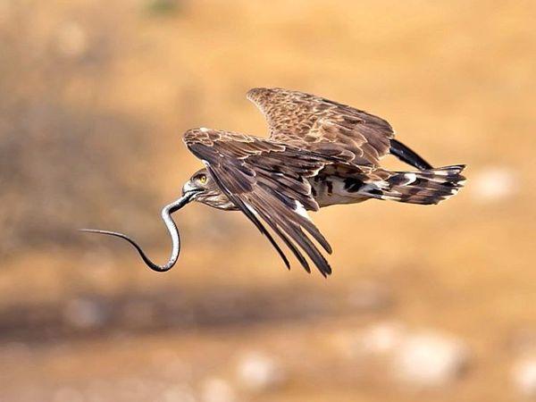 Орел не борется со змеей на земле. | Ярмарка Мастеров - ручная работа, handmade