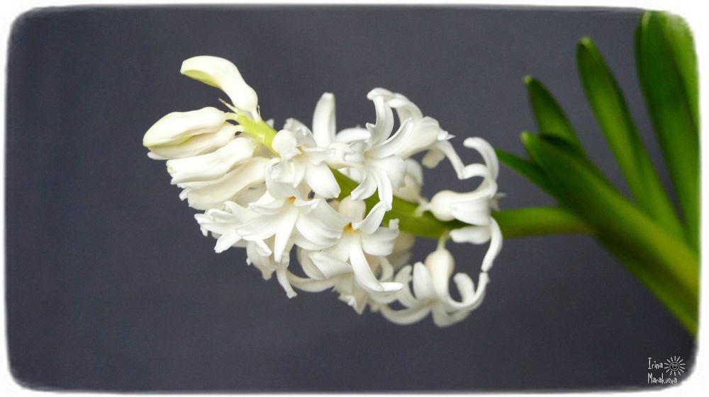 праздник, поздравление, 8марта, весенняя распродажа, цветы, гиацинт
