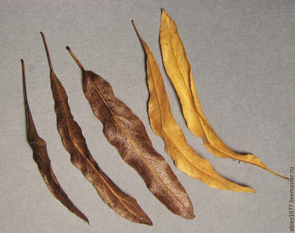 herbarium, дуб, ilex