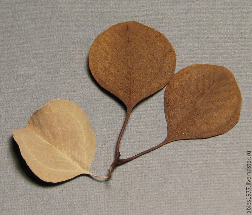 гербарий, падуб, eucalyptus