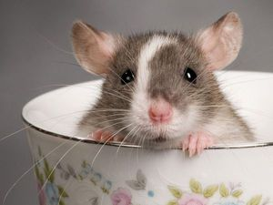 Хозяева декоративных крыс! Мне очень нужна консультация!   Ярмарка Мастеров - ручная работа, handmade