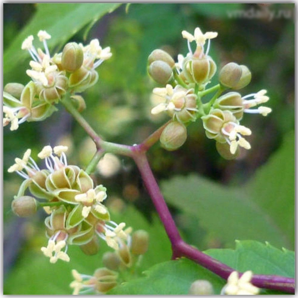цветок винограда, аргонавтры