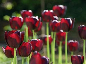 Такие разные тюльпаны. История весеннего цветка. Ярмарка Мастеров - ручная работа, handmade.