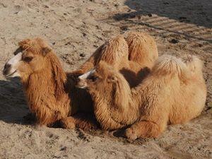 Пледы из верблюжьей шерсти в моем магазине. Ярмарка Мастеров - ручная работа, handmade.