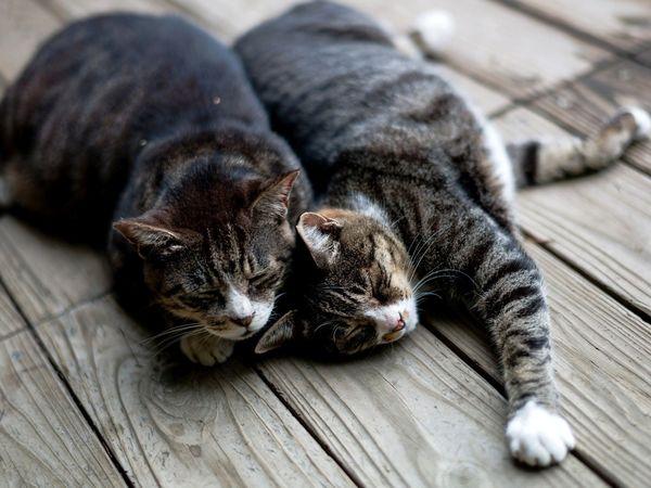 Два кота: нужны ваши советы) | Ярмарка Мастеров - ручная работа, handmade
