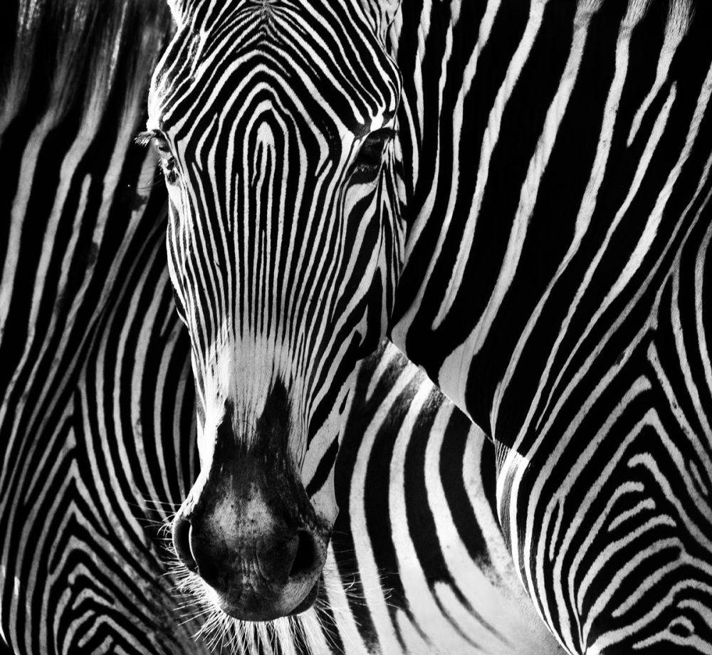 Картинки животных в черно белом цвете