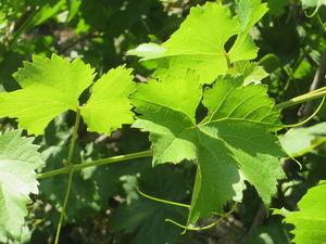 Красного Винограда листьев гидролат. Тоник виноград. Ярмарка Мастеров - ручная работа, handmade.