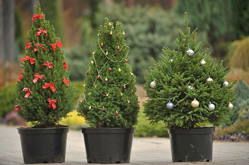 10 Interesting Facts About a Christmas Tree, фото № 5