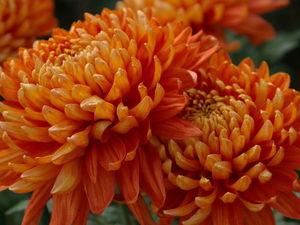 Легенда о хризантеме. Ярмарка Мастеров - ручная работа, handmade.