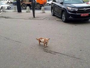 Найдена собака! Ищем хозяев! Нужны ваши репосты!!! | Ярмарка Мастеров - ручная работа, handmade