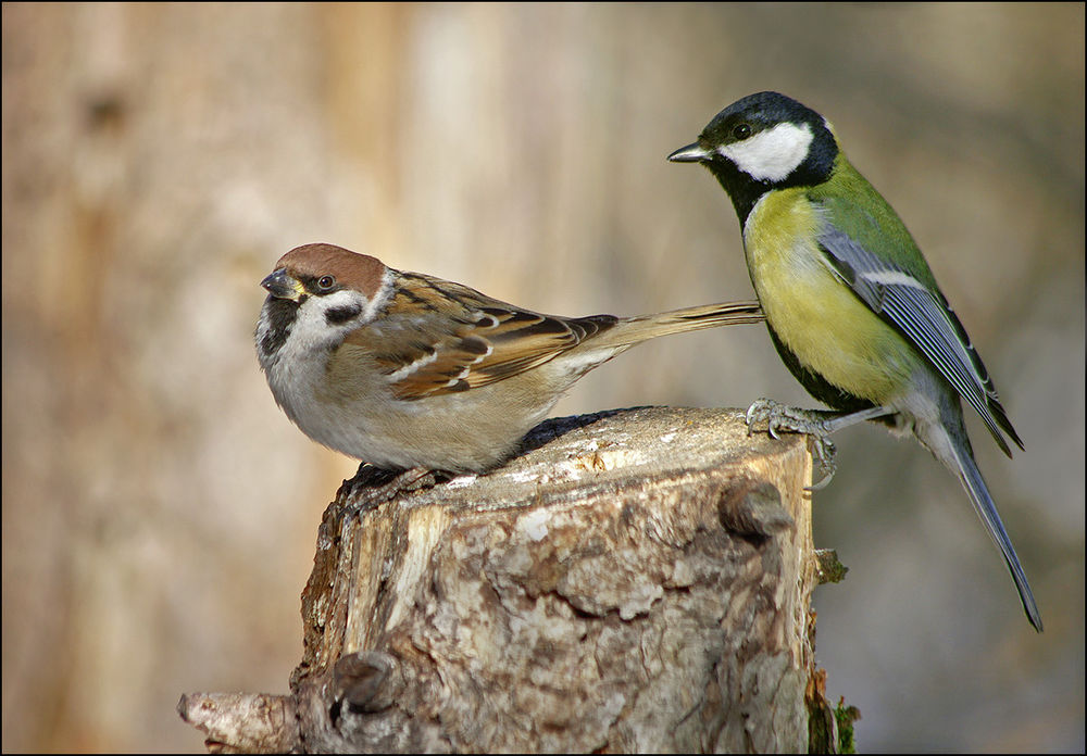 скворечник, воробьи, весенние птички