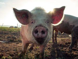 Новый Год и место свиней в культуре. Ярмарка Мастеров - ручная работа, handmade.