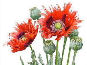 Волшебница ботанической иллюстрации — Anna Mason | Ярмарка Мастеров - ручная работа, handmade