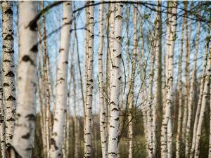 Берёза - свойства, особенности древесины. Ярмарка Мастеров - ручная работа, handmade.
