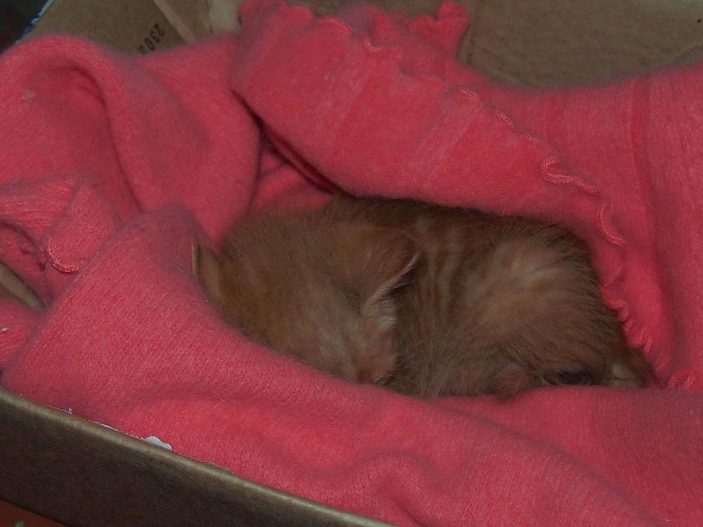 котенок, передержка, рыжий кот