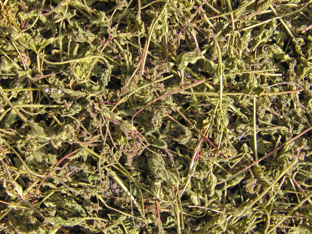 вероника дубравная, сердечная трава, дикие травы дикоросы, дикорастущие травы, лекарственные растения, лекарственные травы