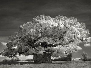 Древние деревья нашей планеты. Ярмарка Мастеров - ручная работа, handmade.