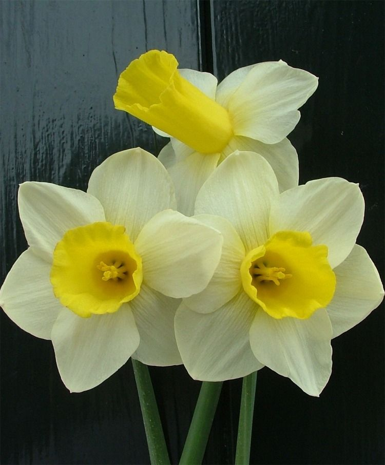 цветы, мускари, яркий