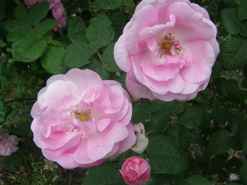 чайная роза, роза, лечебная роза, бутоны розы, применение розы