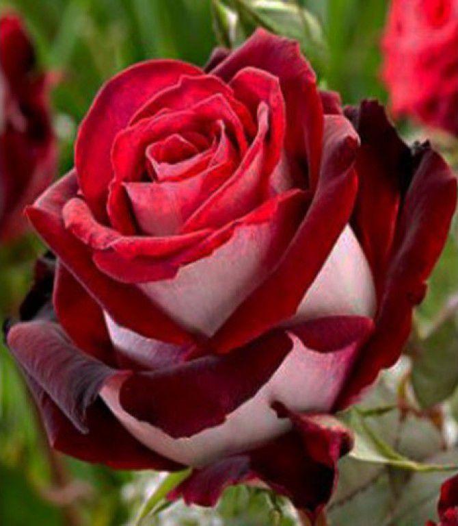 мк фимо, роза