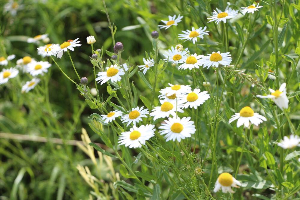 травы, полезные советы, красота и здоровье, полезные свойства трав