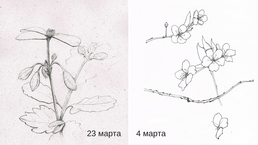 рисунок, графика ботаника