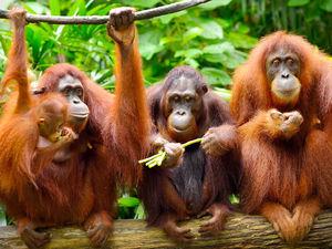 О вреде пальмового масла и о бедных орангутанах. Ярмарка Мастеров - ручная работа, handmade.