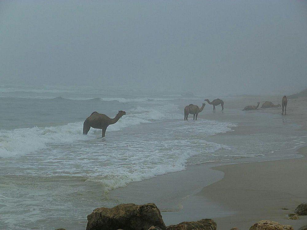 путешествие, верблюд, океан