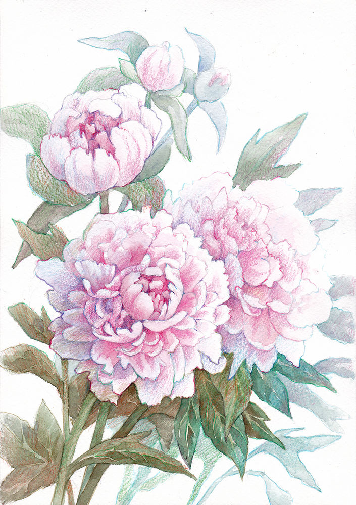 Realistic representation of pink peonies in mixed technique (watercolor and color pencils)