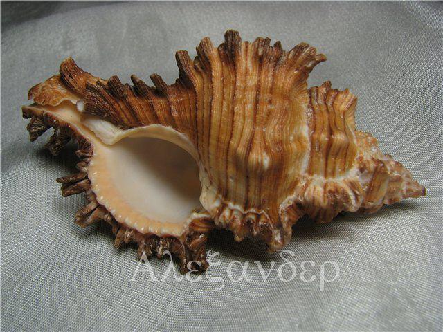 чикореус торрефактус