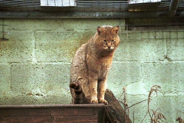 фото камышовый кот