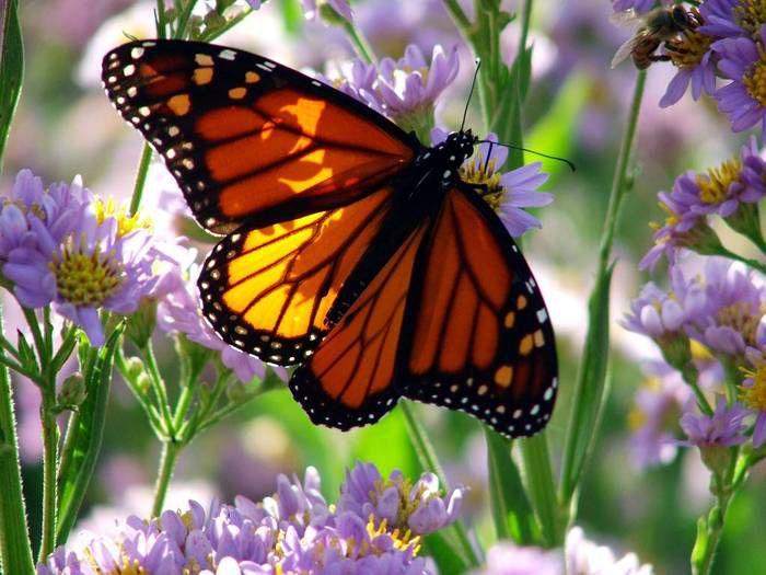 бабочки, чешуекрылые