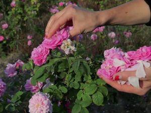 Роза чайная крымская | Ярмарка Мастеров - ручная работа, handmade