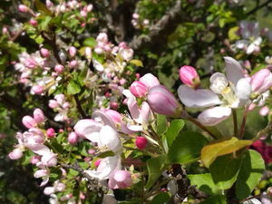 Яблоневый цвет — сухие цветы дикой яблони уже в магазине. Ярмарка Мастеров - ручная работа, handmade.