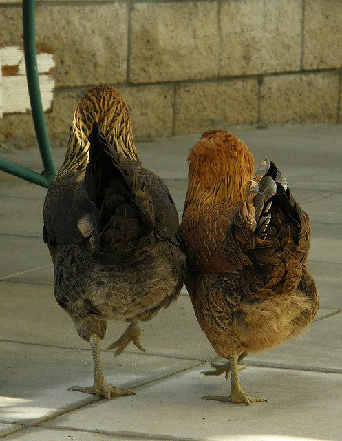 Ameraucana hens from behind