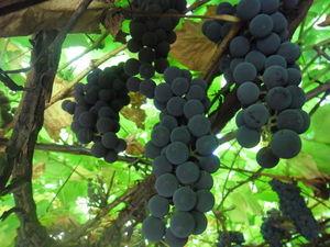 Виноград в Центральной России! Наша любимая кисло-сладкая