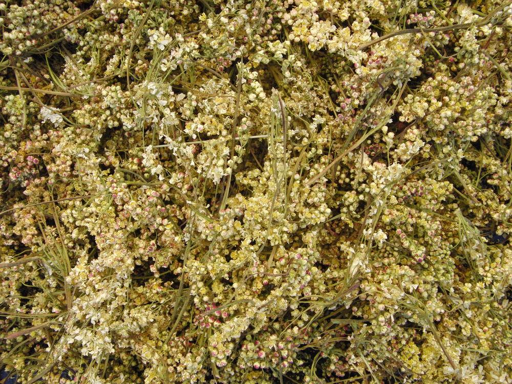 таволга обыкновенная, таволга шестилепестная, мастерица катюша, фитолавочка фито-лавочка, дикие травы на заказ