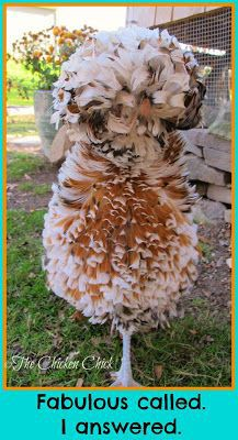 Tolbunt Polish Crested frizzle.  ~The Chicken Chick