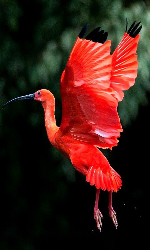 Scarlet Ibis...so lovely!